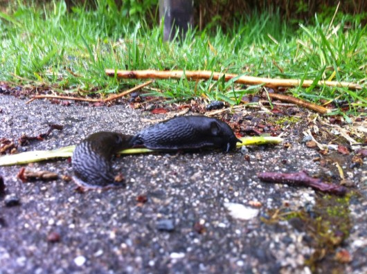 A couple of invasive slugs enjoy breakfast on a cool, rainy spring morning.