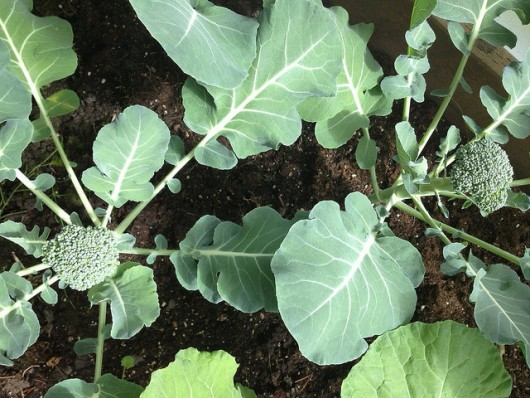 Broccoli in Teri Hoyt's greenhouse garden