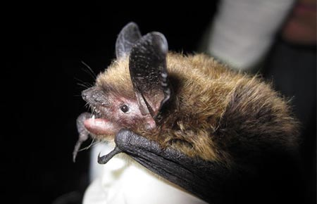 A Keen's myotis bat. (ADF&G photo)