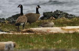 Greater white-fronted goose. Photo courtesy of Andy Piston