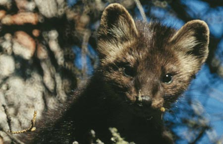 A marten. (Alaska Department of Fish and Game image.)