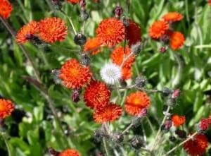Orange hawkweed (invasives.org photo)