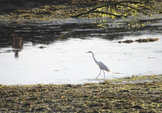 POW resident documents rare great egret sighting