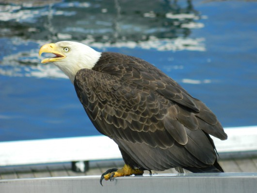 Two sick Ketchikan eagles recovering in Sitka