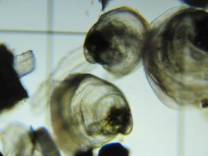Oyster spat from Oceans Alaska.