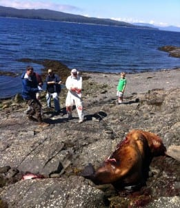 Gary Freitag and volunteers haul a dead sea lion off the rocks and closer to the incoming tide following a necropsy at Refuge Cove on Thursday.