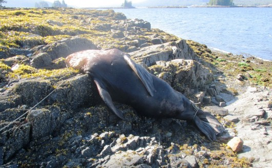 Sea lion necropsy reveals no clear answers