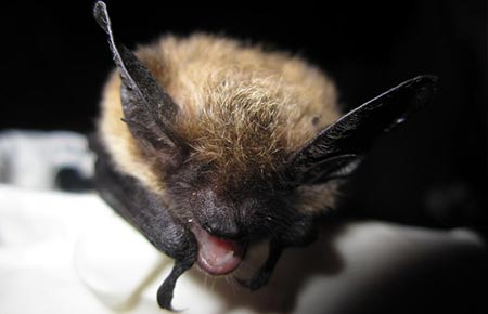 POW bat tests positive for rabies, prompts warning