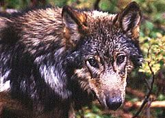 POW wolf pup