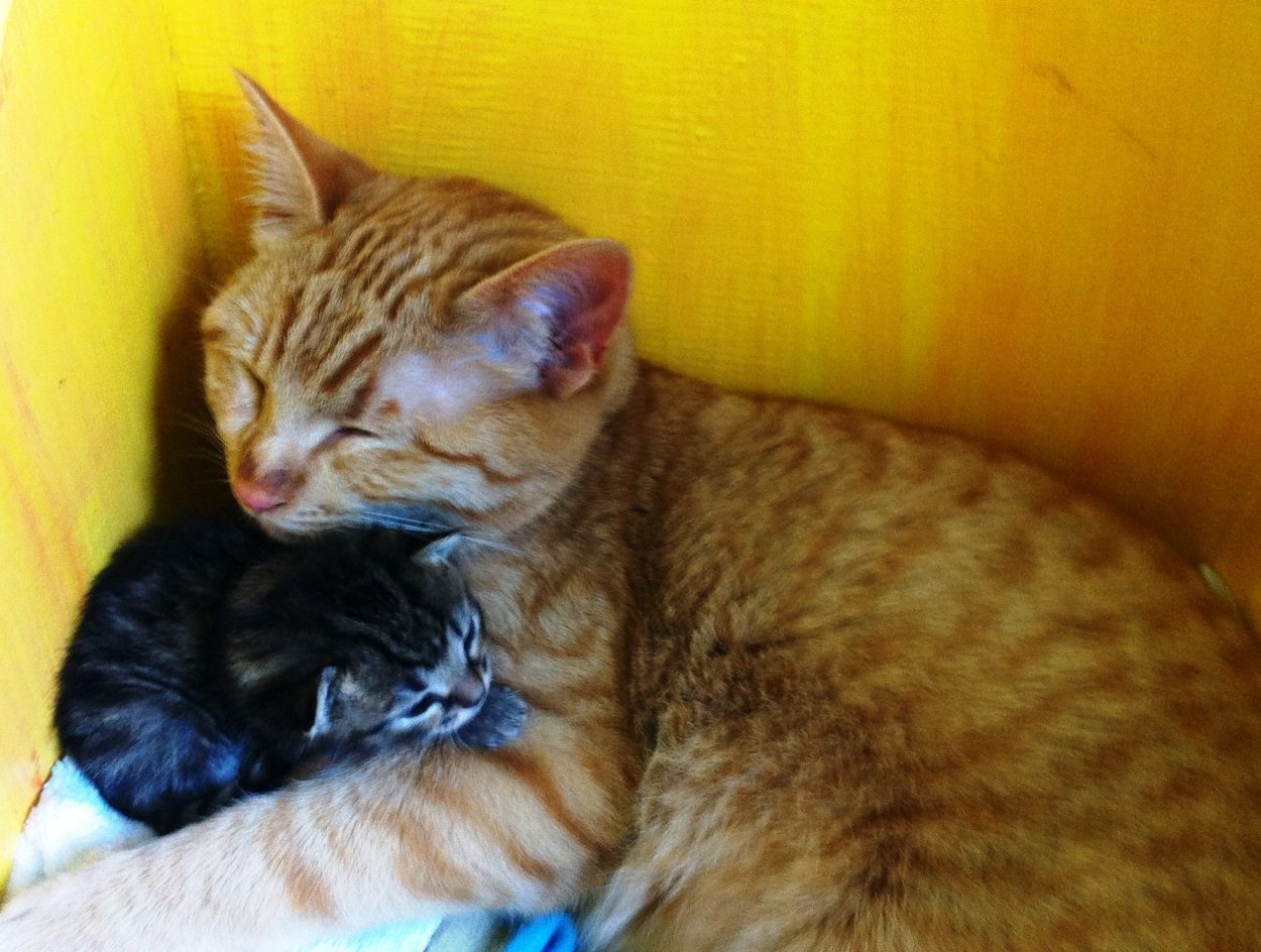 Male cat nurtures litter of abandoned kittens