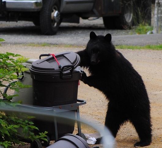 Garbage bear season - KRBD