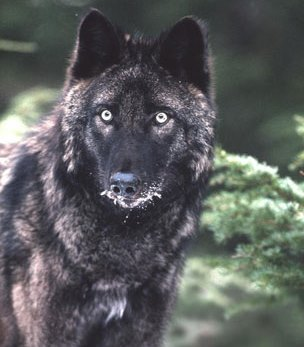 POW-area wolf hunting and trapping quota set