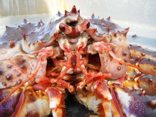 A red king crab. (Photo courtesy Leah Sloan)