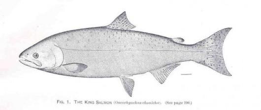 State reopens king salmon sportfishing