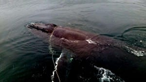 A tangled humpback whale was rescued by a group of Ketchikan good Samaritans this week. (Photo by Oscar Hopps)