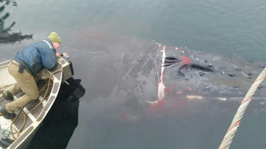 Tangled humpback whale rescued off POW