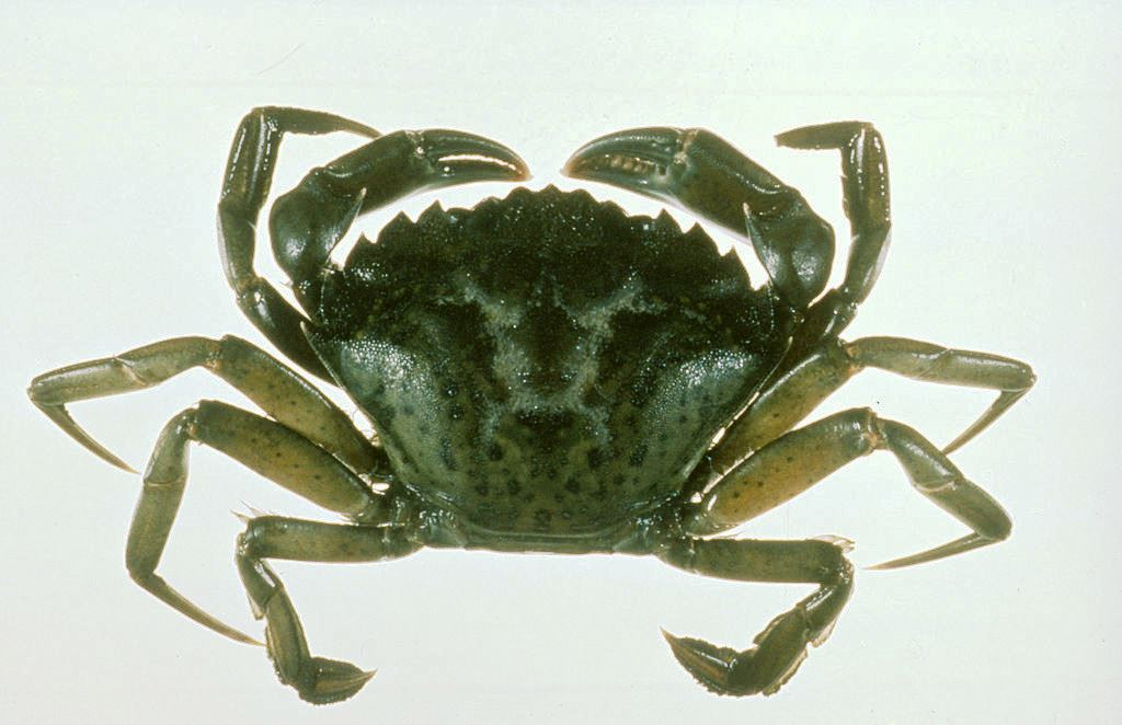 program targets potentially damaging invasive crab krbd