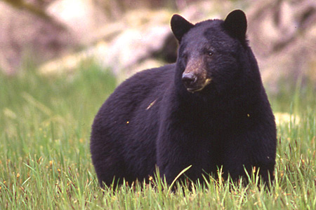 Bears still out / trapping season starting