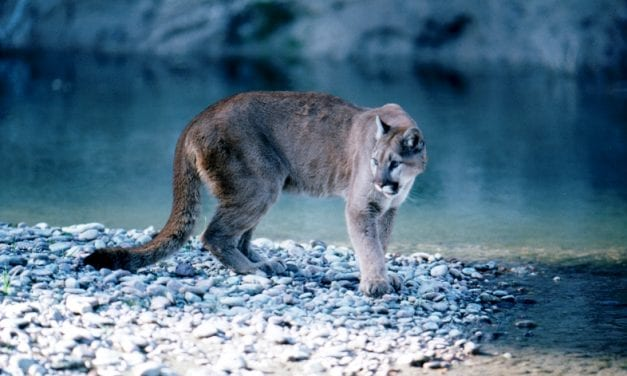 Large cat sightings reported in Ketchikan