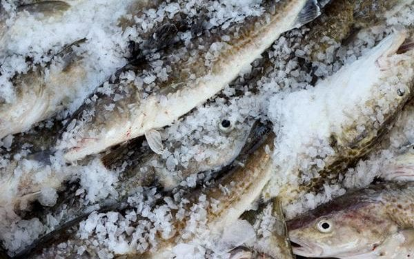 GOA Pacific cod allocations hacked 80 percent after massive stock decline