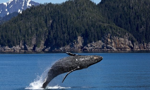 Whale encounters topic of next Ask UAS presentation