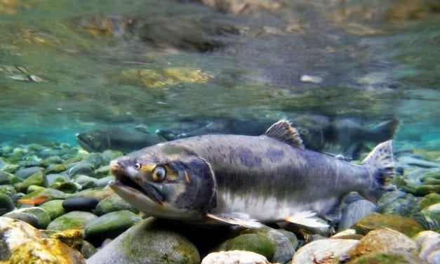 State receives $56 million in federal relief for 2016 pink salmon season disaster