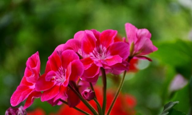 Gardening tips for blooms, herbs, geraniums and more