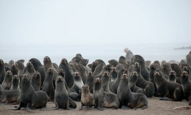 With grocery supplies dwindling on remote Alaska island, the government opened seal harvest early