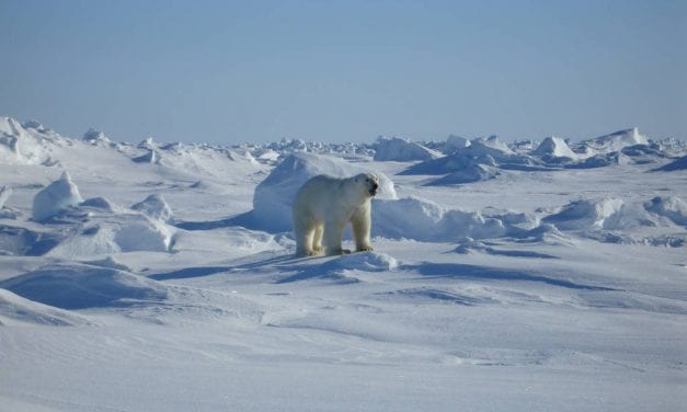 Endangered Species Act overhaul could put Alaska's polar bears in crosshairs