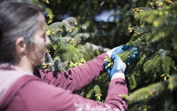 AK: Spruce tip fever brings economic boost to Southeast