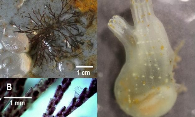 New marine invasive species found in Ketchikan