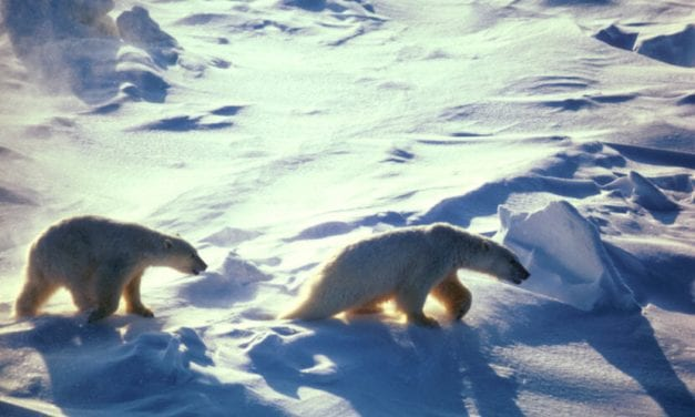 New study says Chukchi polar bears are healthy despite sea ice loss — for now