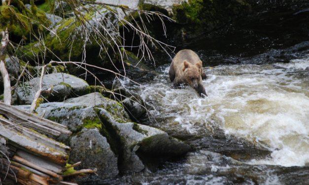 Board OKs fall brown bear hunt for islands near Petersburg, Wrangell