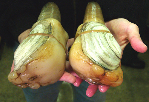 Geoduck fishery shutdown to continue through at least March 5